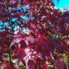 "Acer palmatum ""Bloodgood"" (Fächerahorn)"