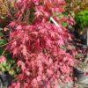 "Acer palmatum ""Chitoseyama"" (Fächerahorn)"