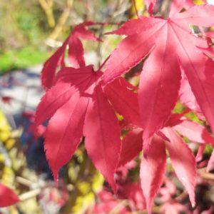 Acer palmatum 'Oskakazuki' (Fächerahorn)