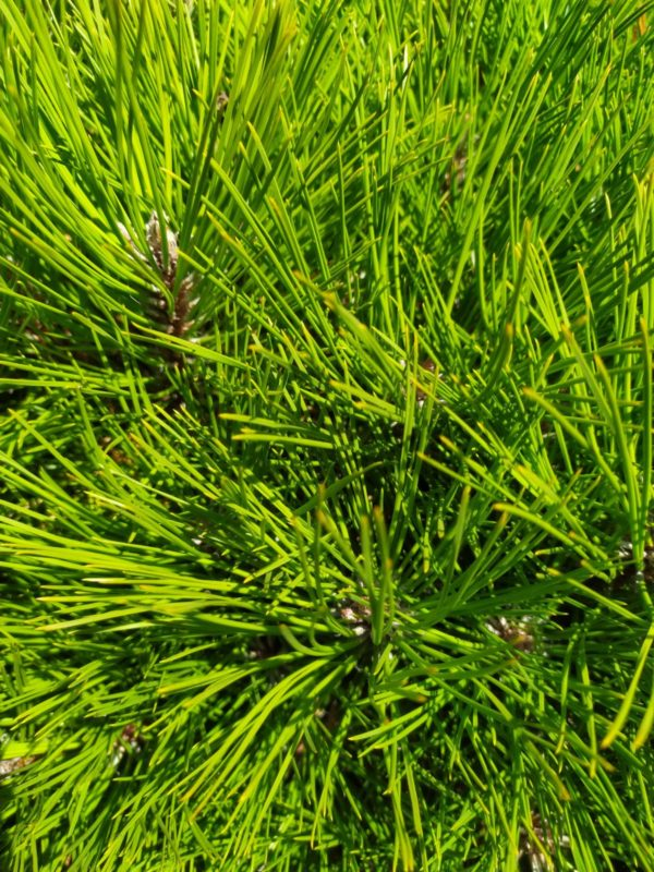 "Pinus nigra ""Pierrick Brégeon"" (Schwarzkiefer)"