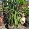 Yucca gloriosa 'Spanischer Dolch'