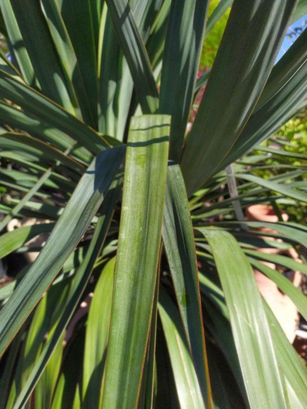 Yucca gloriosa (Spanischer Dolch)