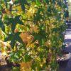 Liquidamber styraciflua (Amerikanischer Amberbaum)