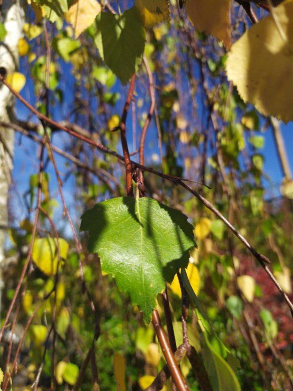 """Betula pendula """"Youngii"""" (Trauerbirke)"""