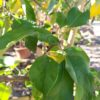 "Malus ""Pinova"" mittel (Apfelbaum)"