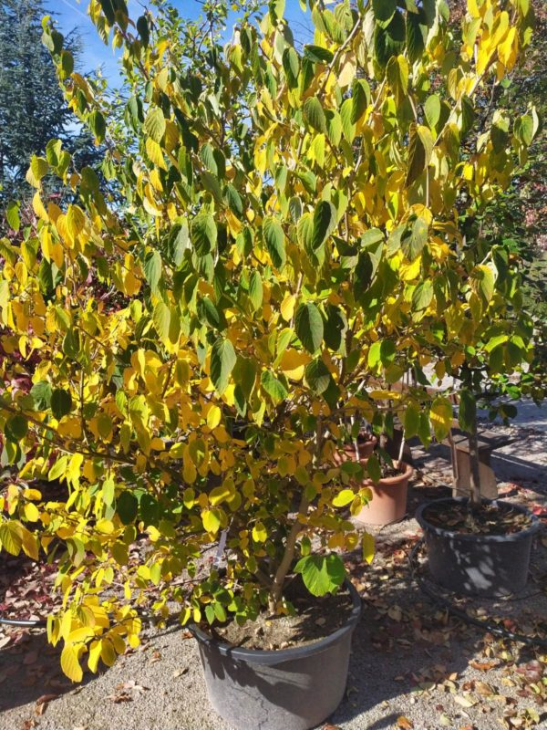 Corylopsis spicata (Hohe Scheinhasel)