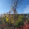 "Sorbus thuringiaca ""Fastigiata"" (Thüringische Säulen-Eberesche)"