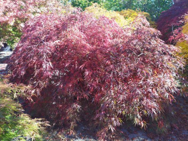 "Acer palmatum ""Inaba-shidare"" (Fächerahorn)"