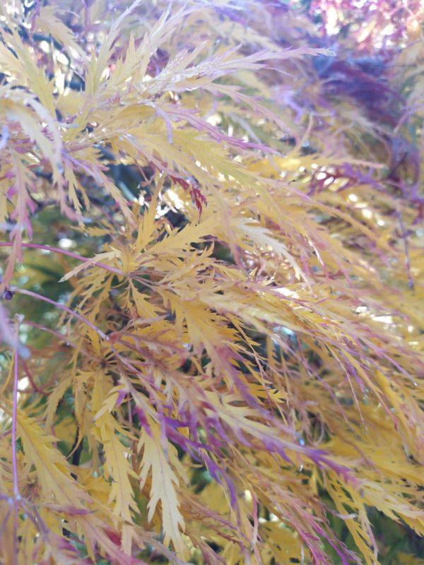 "Acer palmatum ""Dissectum"" (Grüner Schlitzahorn)"
