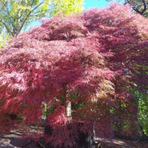 """Acer palmatum """"Garnet"""" (Dunkelroter Schlitzahorn)"""
