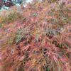 "Acer palmatum ""Dissectum"" (Grüner Fächerahorn)"