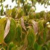 "Cornus Cornus kousa chinensis ""China Girl"" (Japanischer Blumenhartriegel)""Rubra"" (Roter Blumen-Hartriegel)"