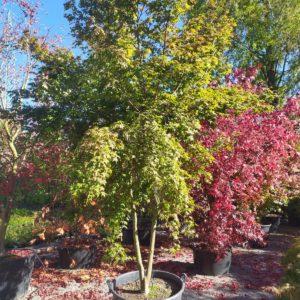 "Acer palmatum ""Deshojo"" (Rotaustreibender Fächerahorn)"