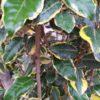 "Elaeagnus ebbingei ""Viveleg"" (Wintergrüne Ölweide)"