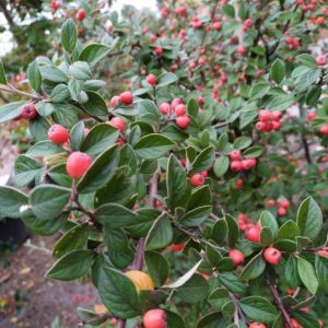 Cotoneaster franchetii (Fruchtmispel)