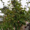Mespilus germanica (Mispel)