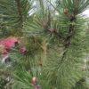 Pinus heldreichii var. leucodermis (Schlangenhautkiefer)
