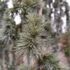 Zweige hängen mähnenartig herab, dekorative Pflanze für Einzelstellung