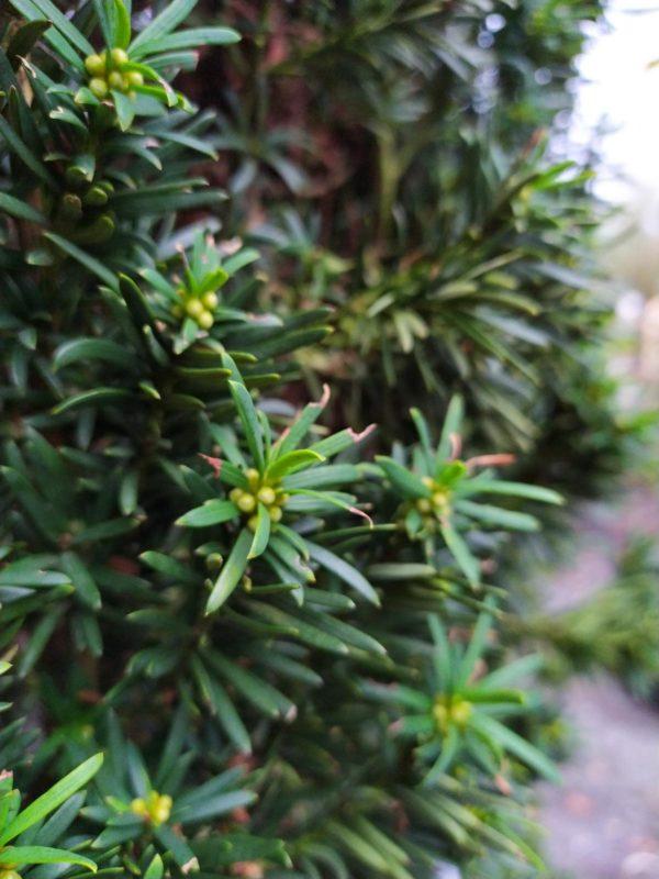 """Taxus baccata """"Fastigiata Aureomarginata"""" (Gelbe Säuleneibe)"""