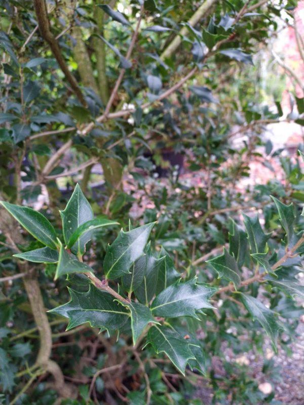 Osmanthus heterophyllus (Stachelblättrige Duftblüte)