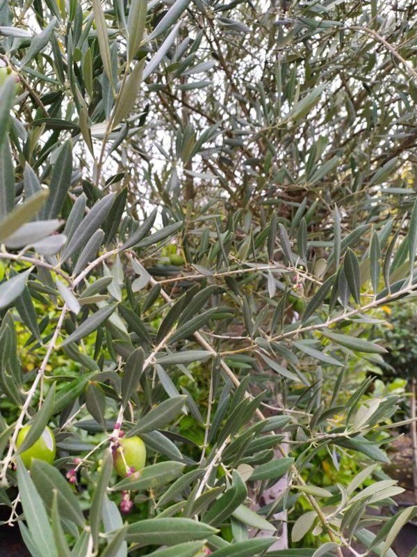 Olea europaea (Olivenbaum)