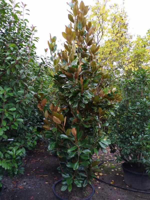 """Magnolia grandiflora """"Galissonniere"""" (Baum-Magnolie)"""