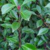 "Photinia fraseri ""Red Robin"" (Glanzmispel)"