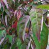 """Cornus """"Stellar Pink"""" (Japanischer Blumen-Hartriegel)"""