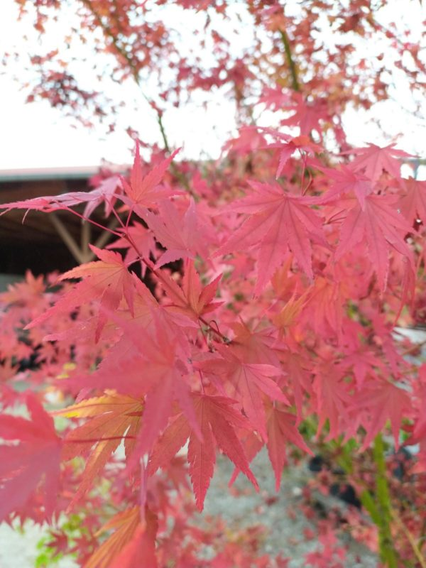 Acer palmatum (Fächerahorn)