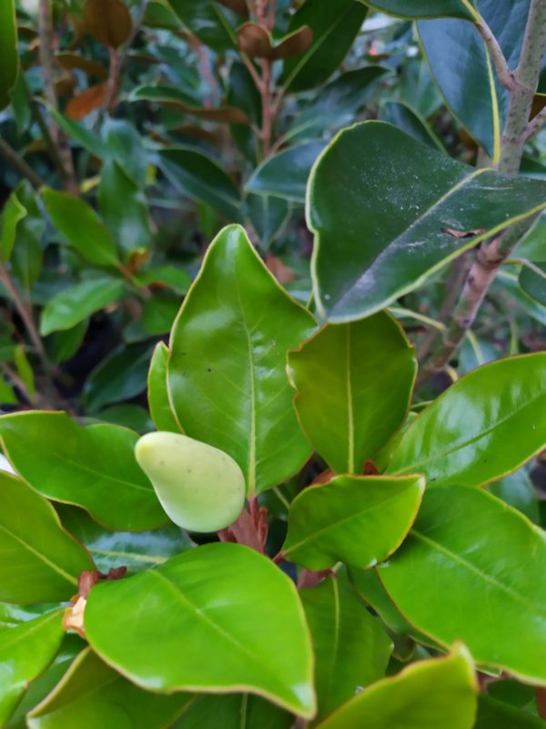 "Magnolia grandiflora ""Galissonniere Nana"" (Baum-Magnolie)"