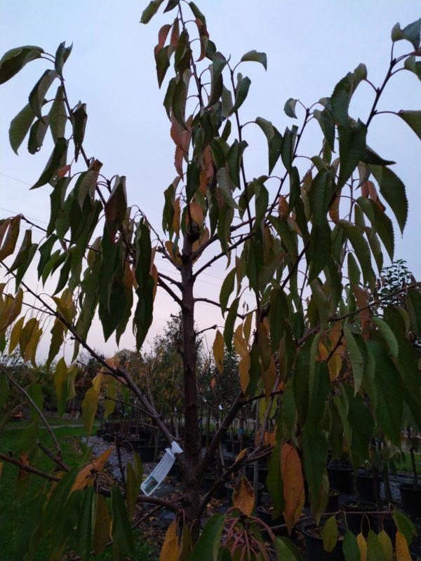 "Prunus avium ""Burlat"" (Süßkirsche)"