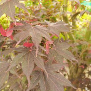 "Acer palmatum ""Bloodgood"" (Roter Fächerahorn)"