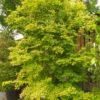 """Acer palmatum """"Orange Dream"""" (Fächerahorn)"""