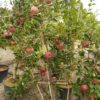 Malus 'Melrose' (Apfelbaum)