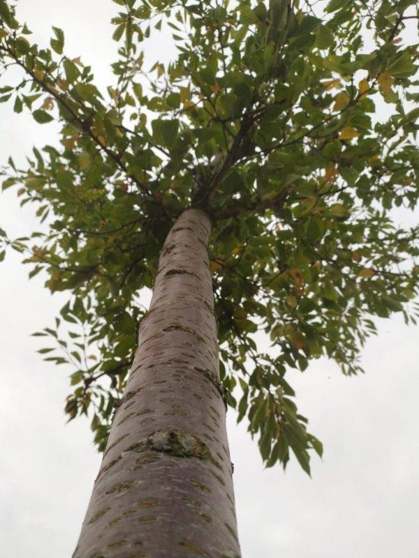 Prunus yedoensis (Japanische Maienkirsche)