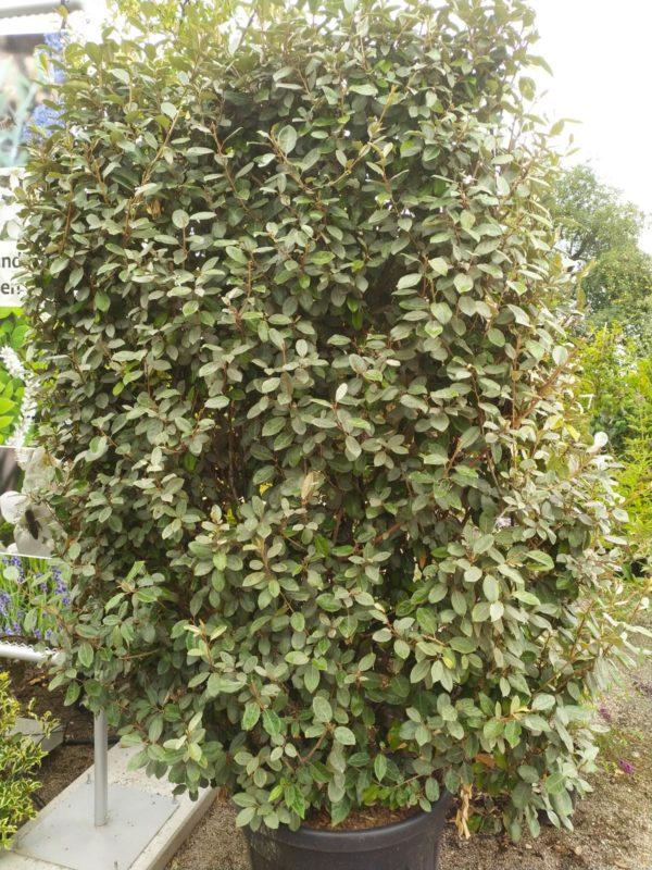 Elaeagnus ebbingei (Wintergrüne Ölweide)