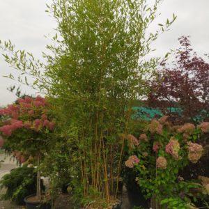 Phyllostachys aureosulcata spectabilis (Bambus)