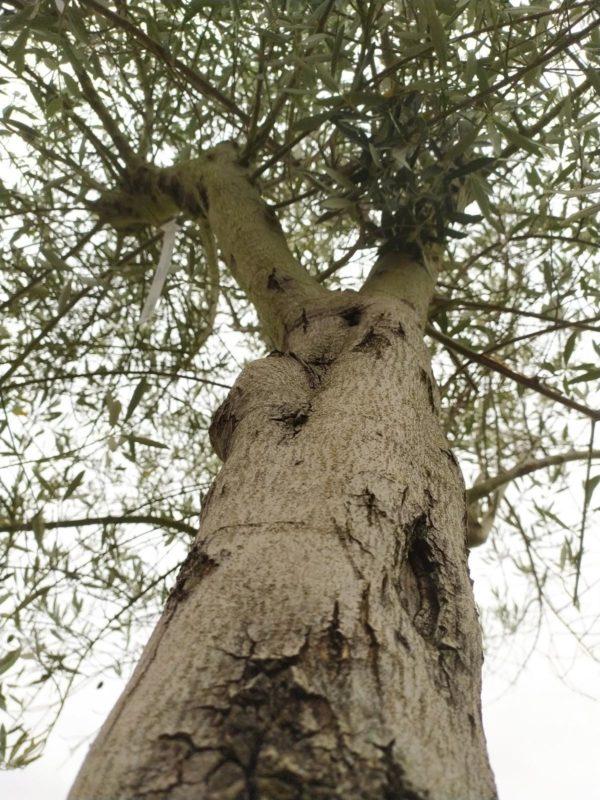 Olea europea (Olivenbaum)