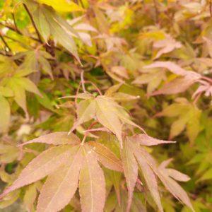 """Acer palmatum """"Atropurpureum"""" (Roter Fächerahorn)"""