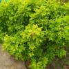 """Quercus palustris """"Isabel"""" (Sumpf-Eiche)"""