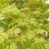 """Acer palmatum """"Seiryu"""" (Fächerahorn)"""