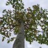 """Magnolia """"Galaxy"""" (Magnolie)"""