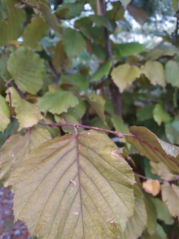 "Corylus maxima ""Purpurea"" (Bluthasel)"