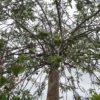 "Pyrus salicifolia ""Pendula"" (Hängende Wildbirne)"