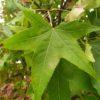 Liquidambar styraciflua (Amerikanischer Amberbaum)