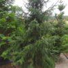 Picea omorika (Serbische Fichte)