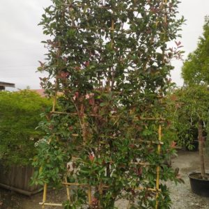 "Photinia fraseri ""Red Robin"" (Glanzmispel)"