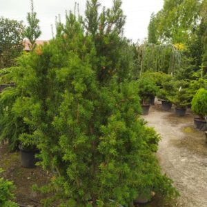 "Taxus media ""Hicksii"" (Fruchtende Bechereibe)"