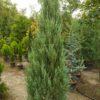 "Juniperus scopulorum ""Blue Arrow"" (Wacholder)"