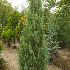 "Juniperus scopulorum ""Blue Arrow"" (Wacholder)"